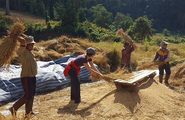 Thailand rice fields